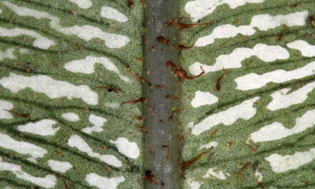 Elaphoglossum confusum