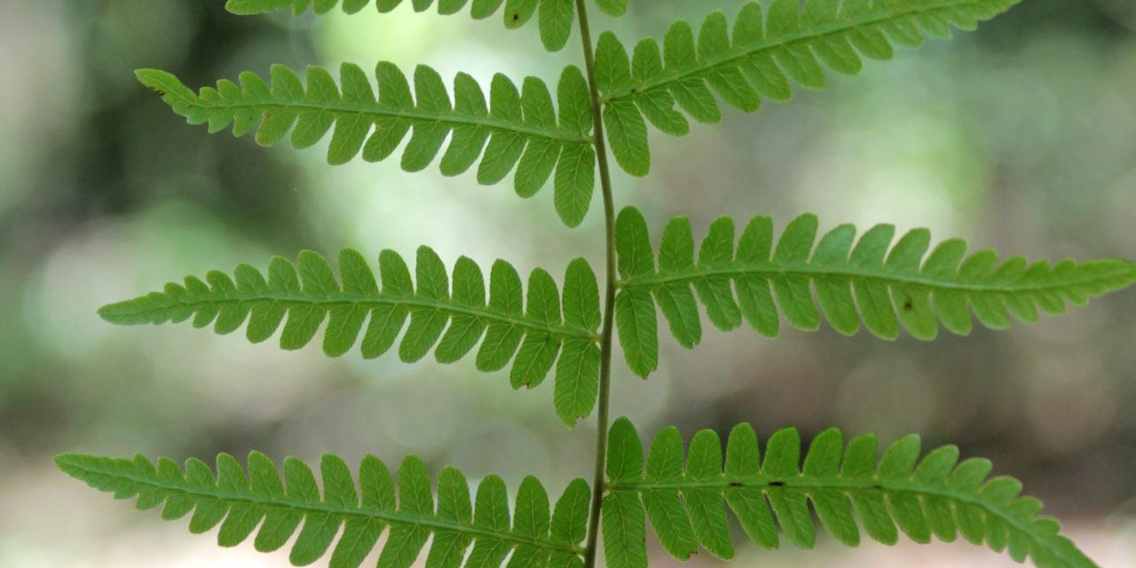 Thelypteris palustris var. haleana