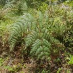 Pteridium arachnoideum
