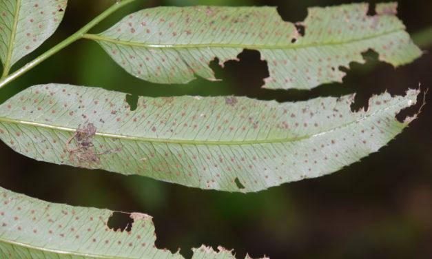 Phanerophlebia remotispora