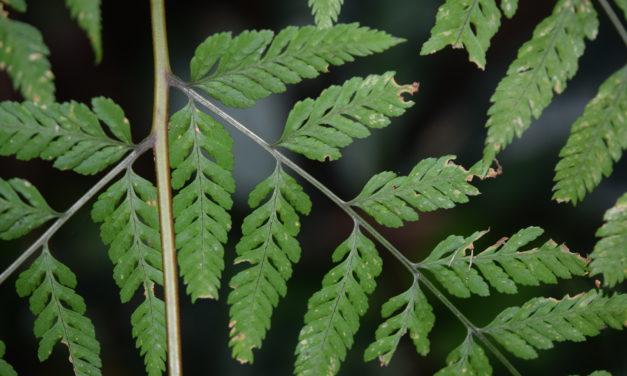 Dryopteris cinnamomea