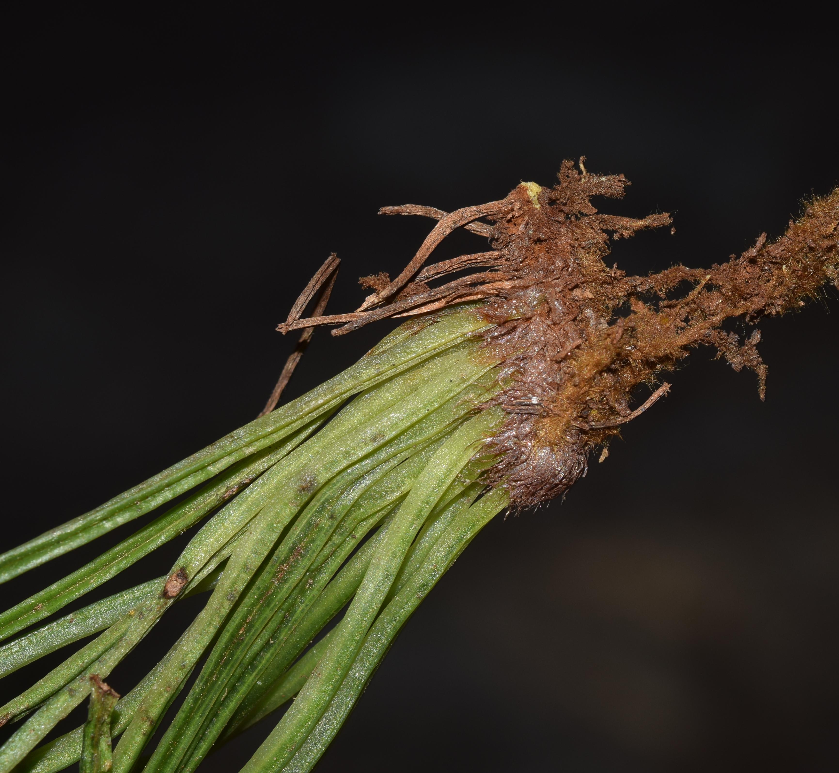 Vittaria flavicosta