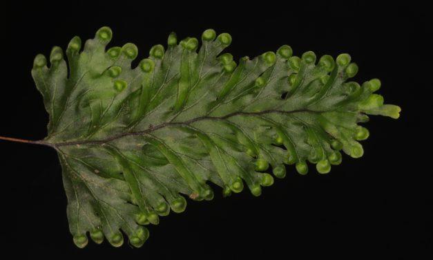 Hymenophyllum asplenioides