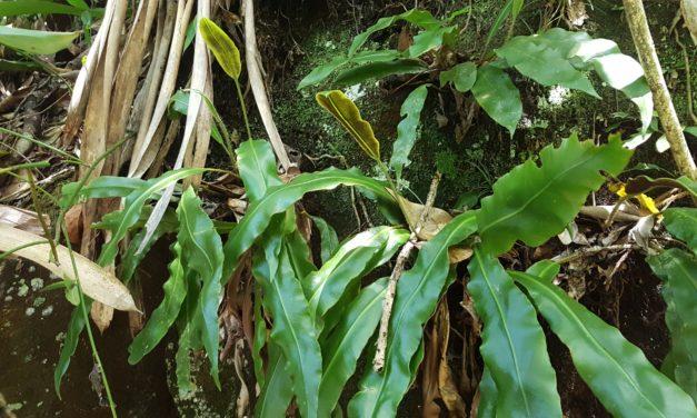 Elaphoglossum glaziovii