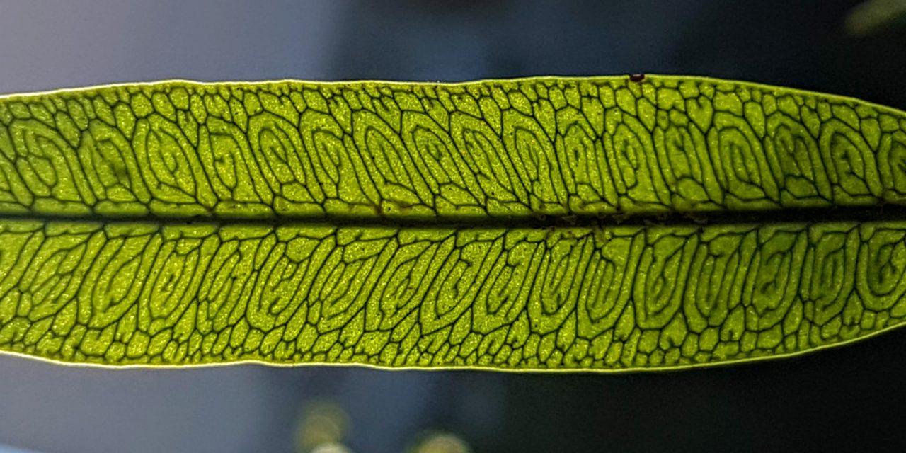 Microgramma squamulosa
