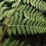 Hypolepis alpina