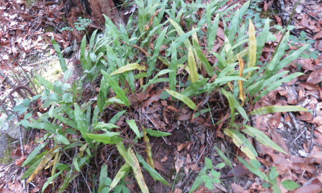 Elaphoglossum potosianum