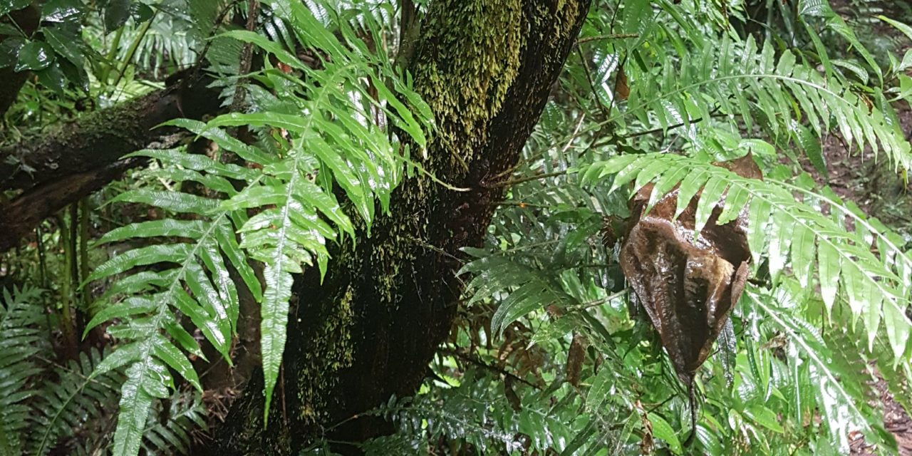Lomaridium plumieri