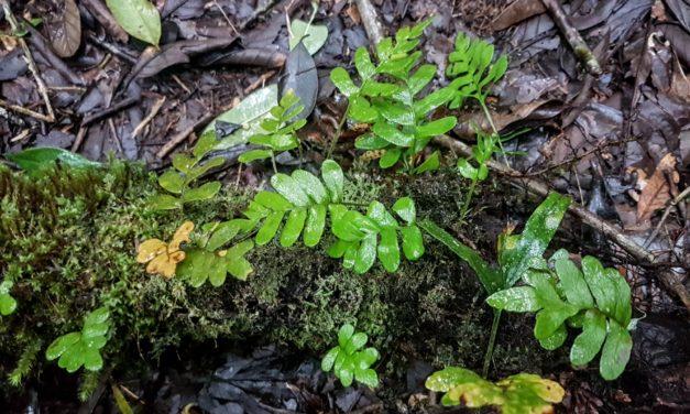 Pleopeltis pleopeltidis