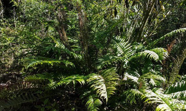 Lomaria spannagelii