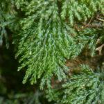 Hymenophyllum denticulatum