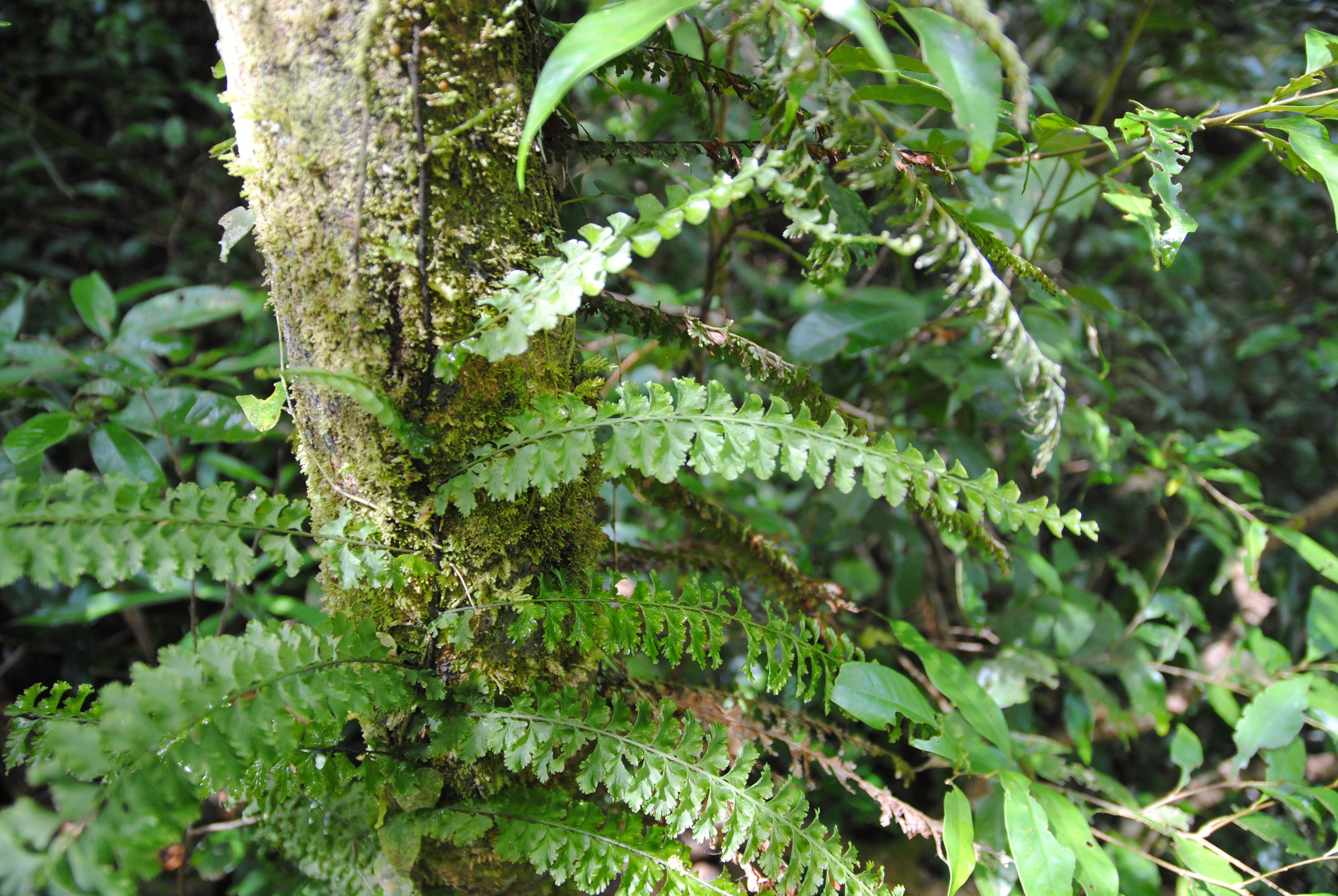 Vandenboschia auriculata