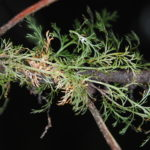 Crepidomanes aphlebioides