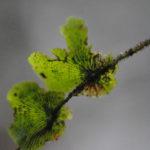 Didymoglossum tahitense