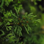 Hymenophyllum acanthoides