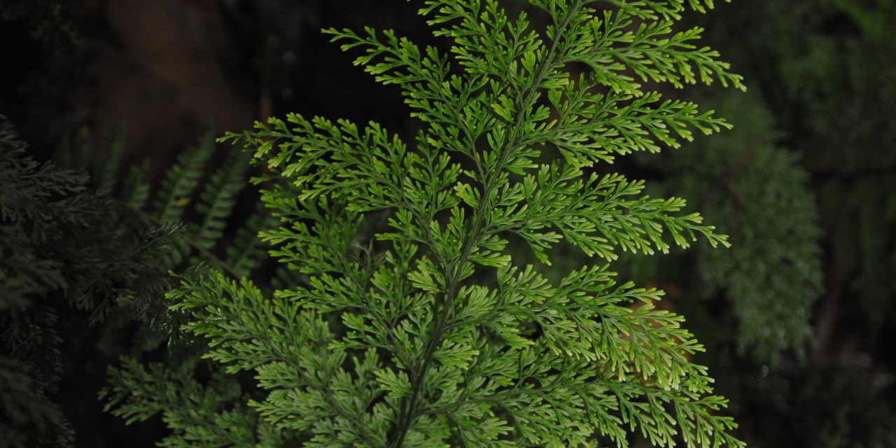 Vandenboschia maxima