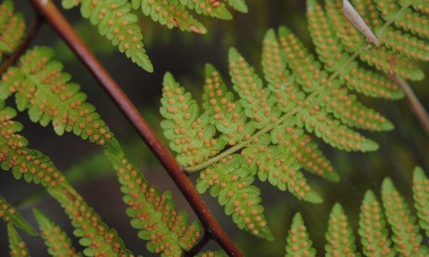 Hypolepis elegans