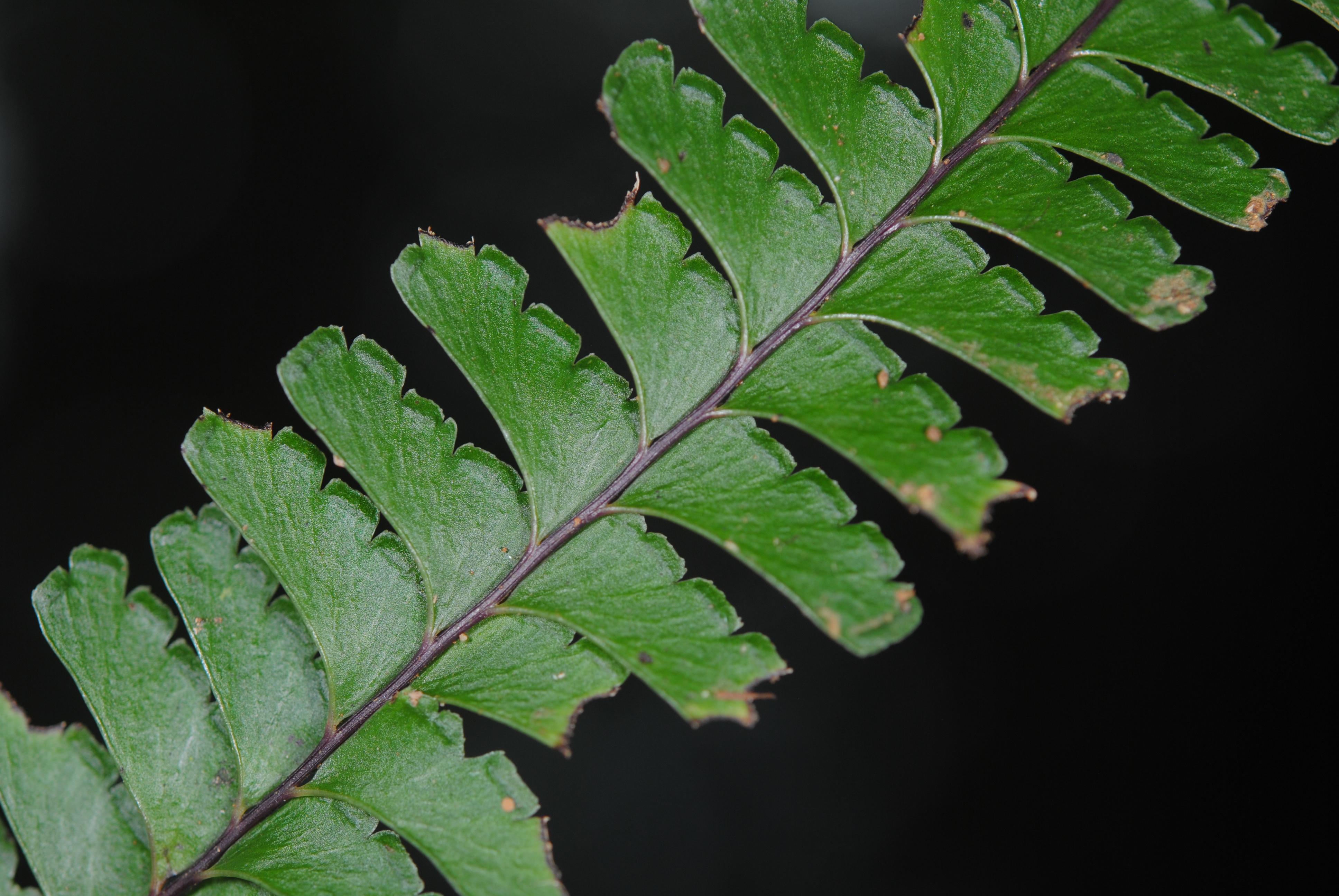 Lindsaea obtusa