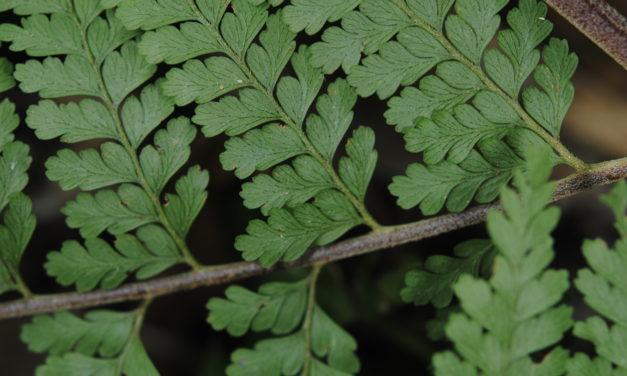 Microlepia todayensis