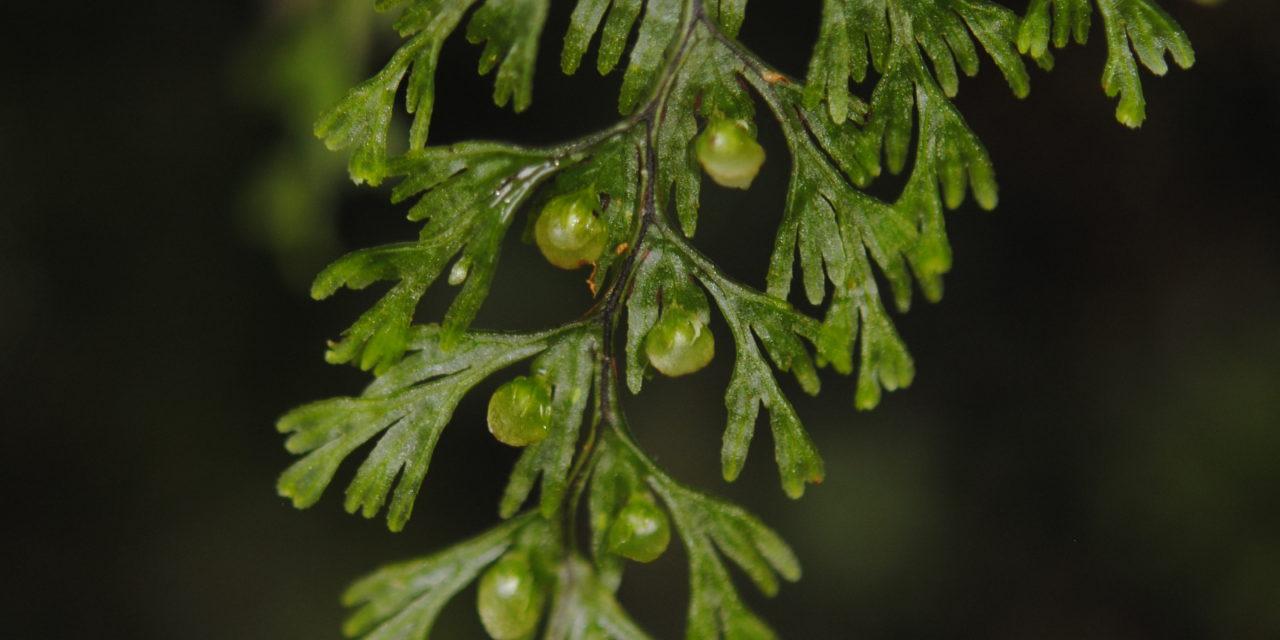 Hymenophyllum gorgoneum Copel.
