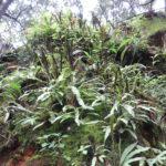 Elaphoglossum pringlei