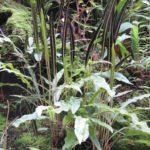 Fertile leaves