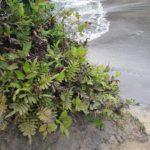 Polypodium scouleri
