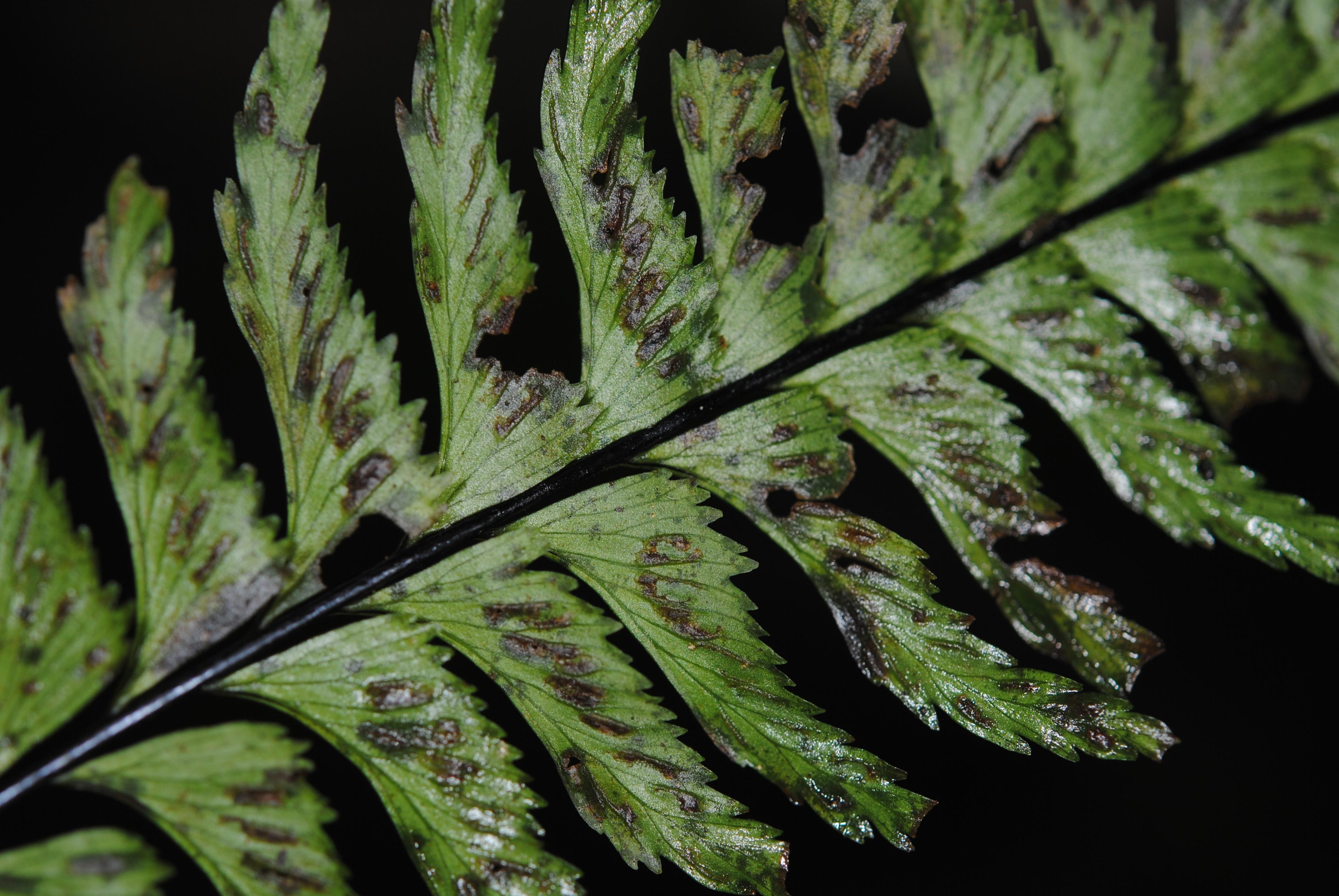 Hymenasplenium unilaterale s.l.