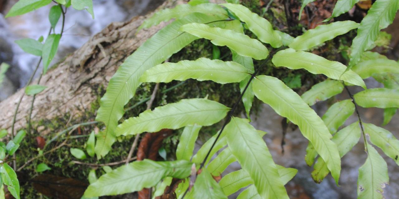 Asplenium subemarginatum