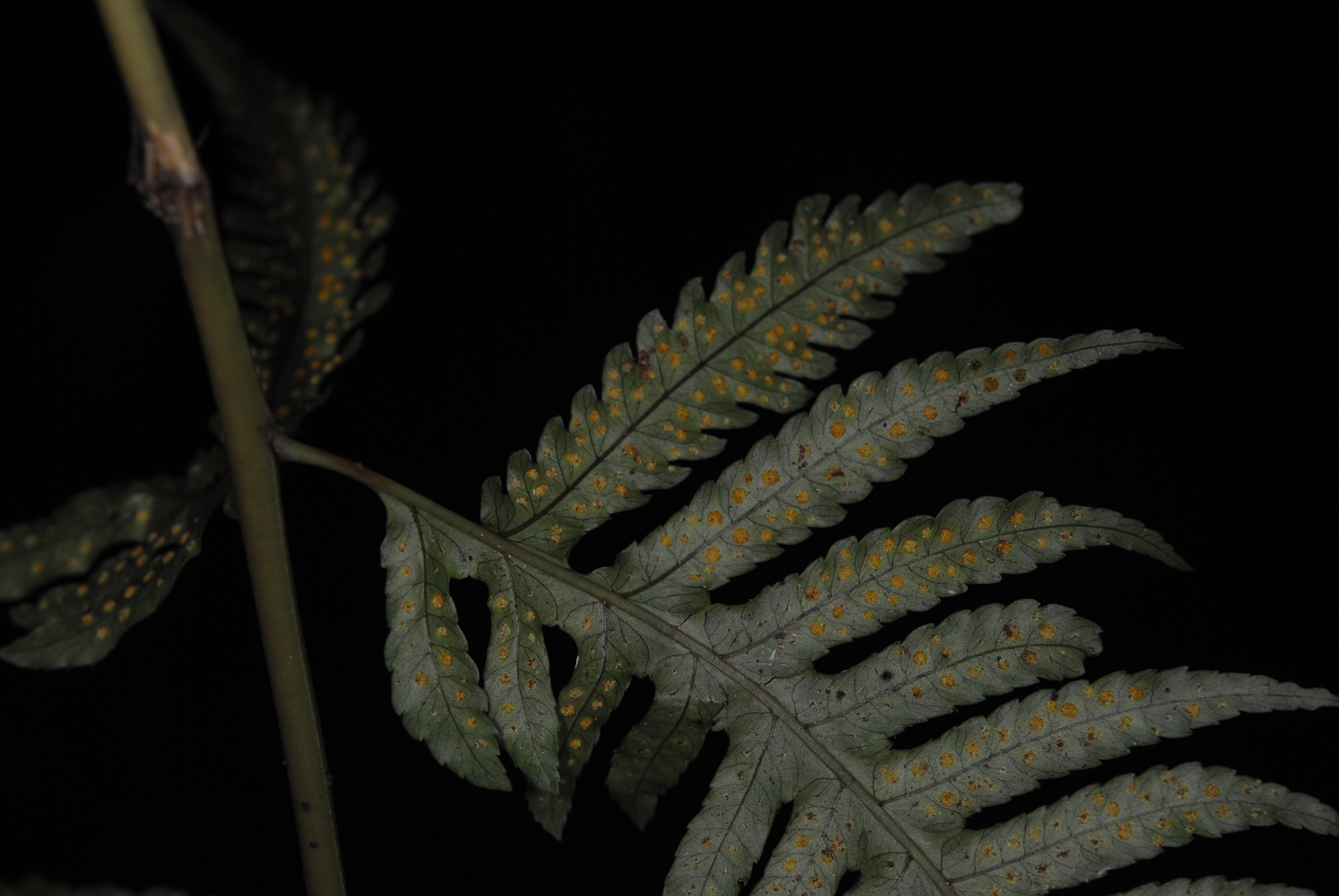 Pteridrys microthecia