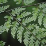 Dryopteris arborescens