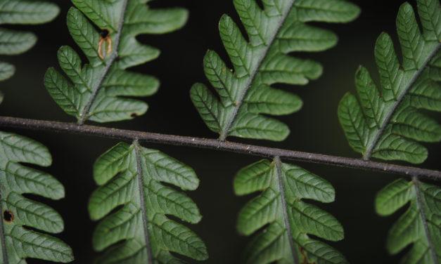 Sphaerostephanos scandens