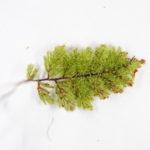 Hymenophyllum cf. brassii