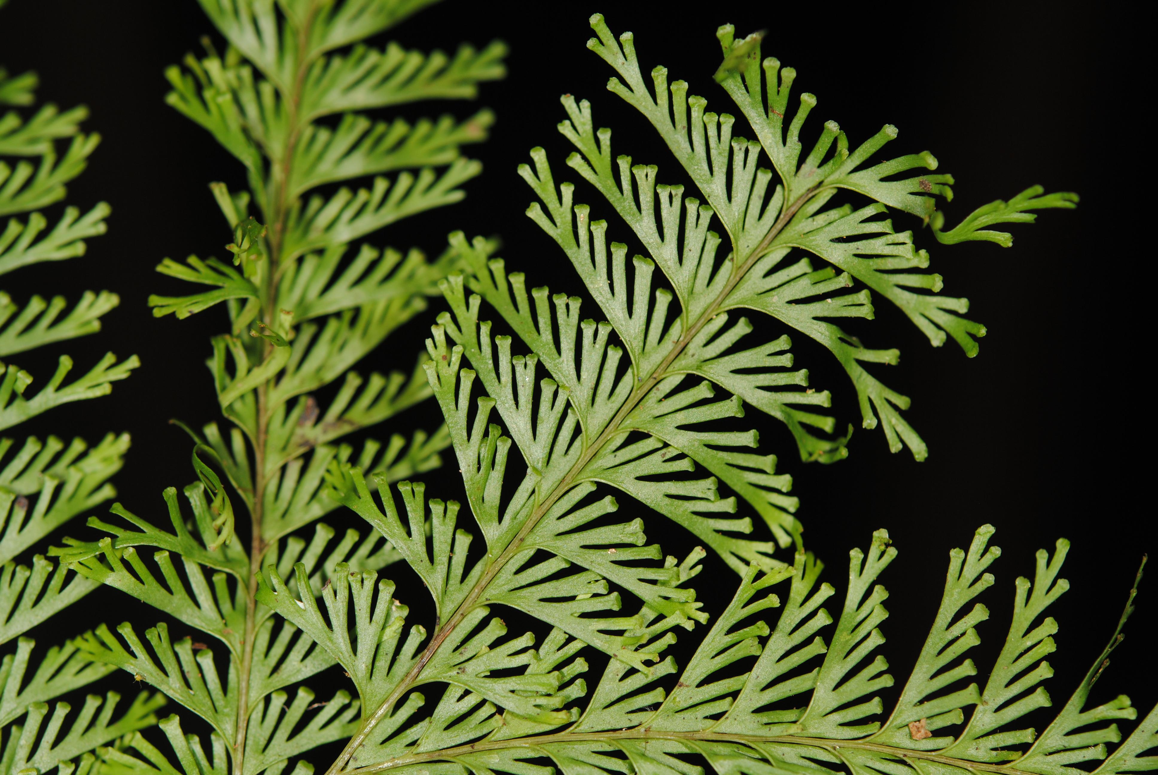 Lindsaea tenuifolia