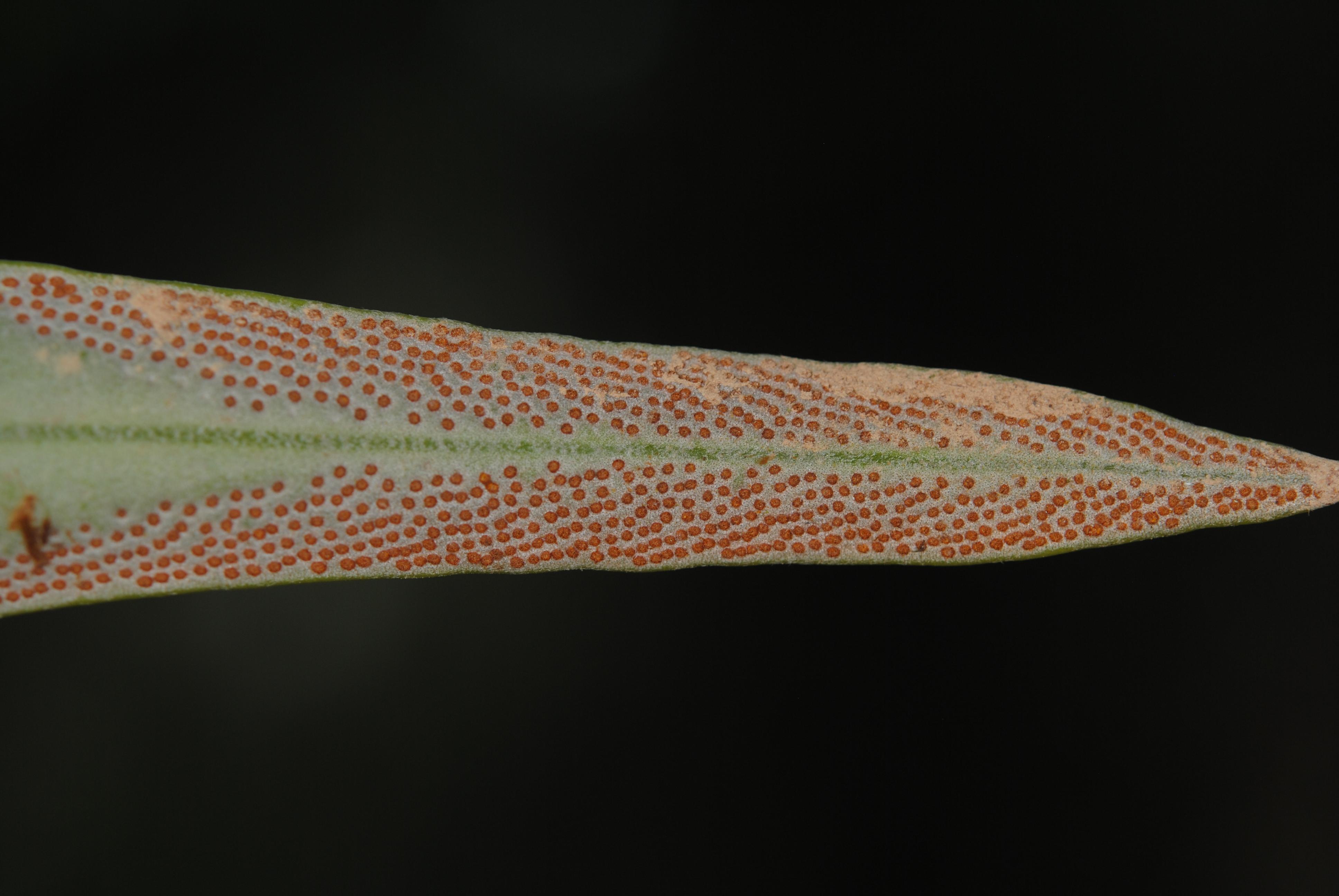 Pyrrrosia longifolia