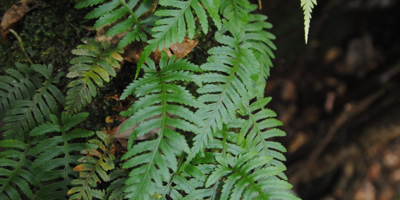 Davallia sessilifolia