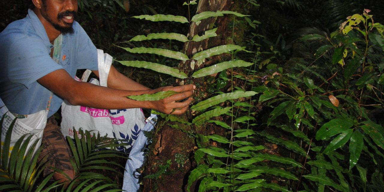 Goniophlebium persicifolium