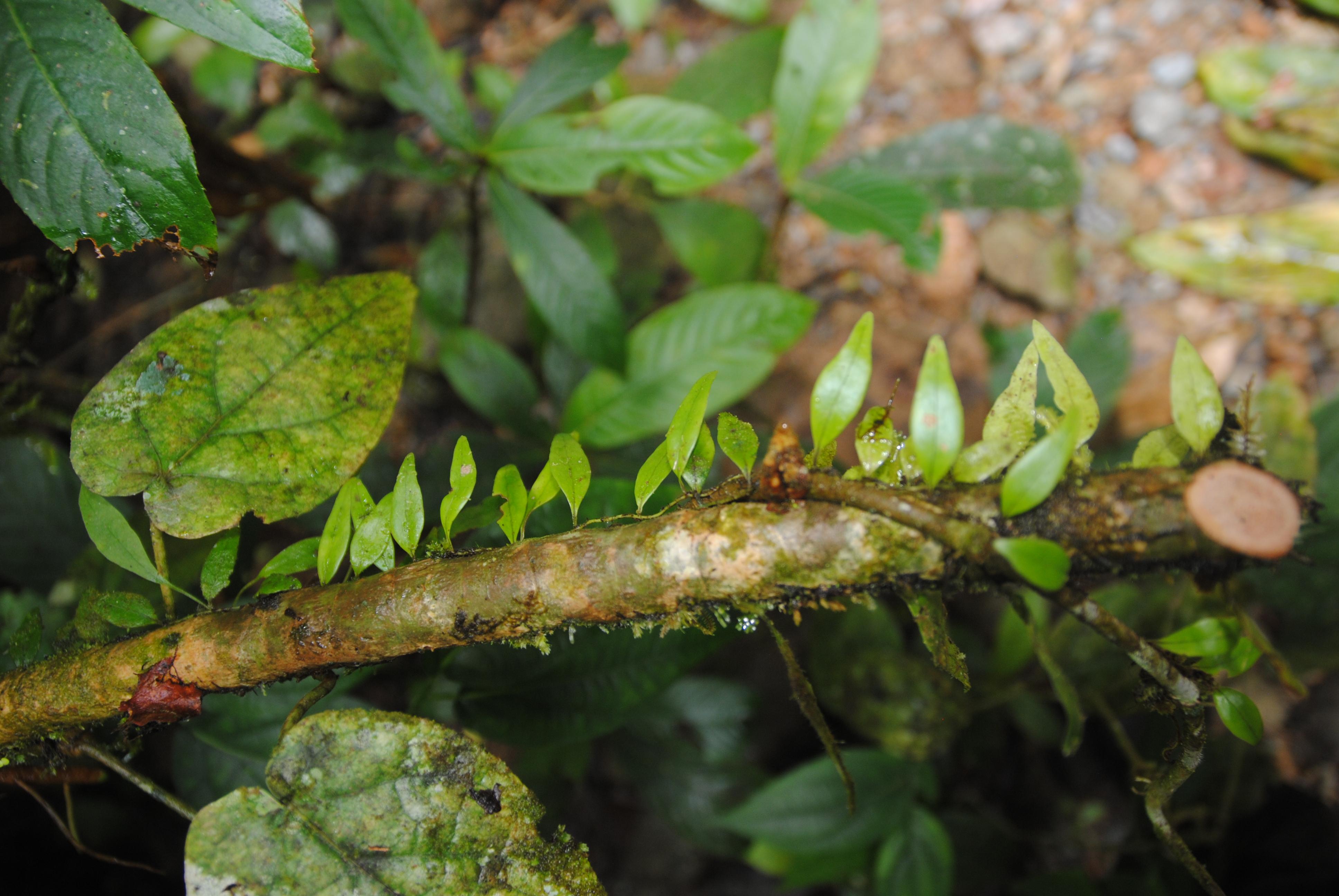 Lemmaphyllum accedens