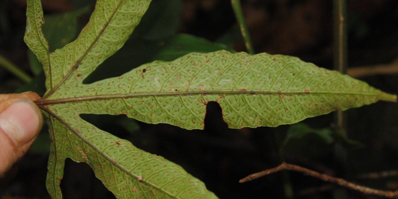 Tectaria christovalensis