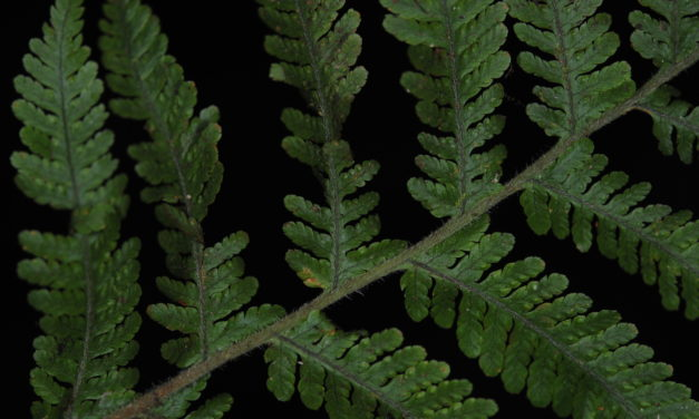 Davallia pubescens