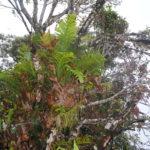 Aglaomorpha drynarioides