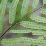 Aglaomorpha rigidula