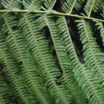 Chingia longissima