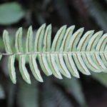 Blechnum occidentale frond
