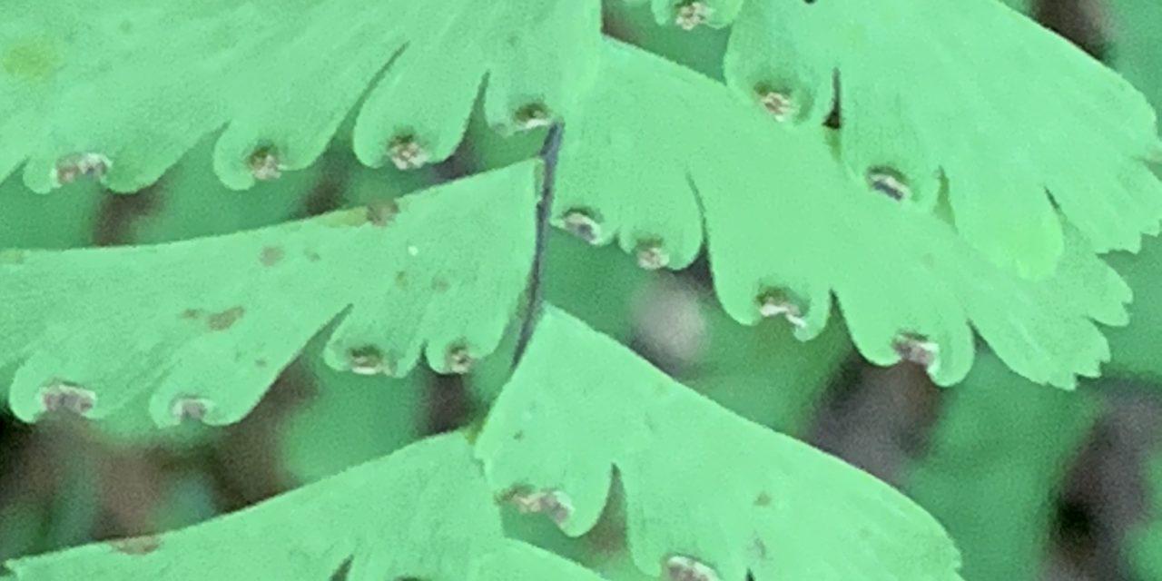 Adiantum aleuticum