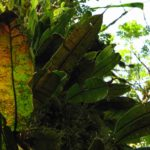 Ferns and Lycophytes of the Nectandra Cloud Forest Reserve, Costa Rica