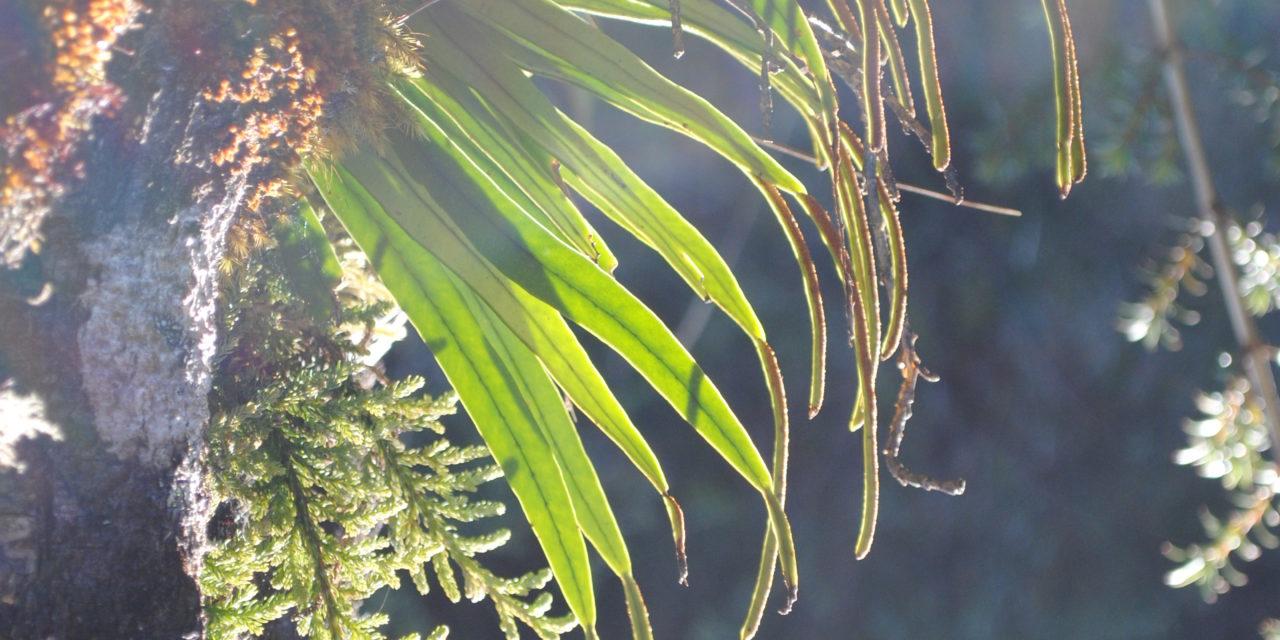 Lepisorus spicatus