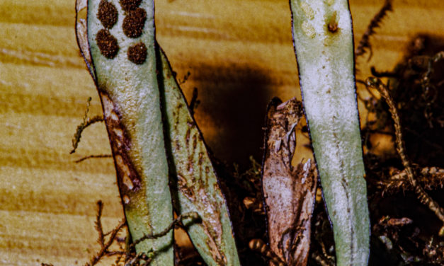 Grammitis melanoloma