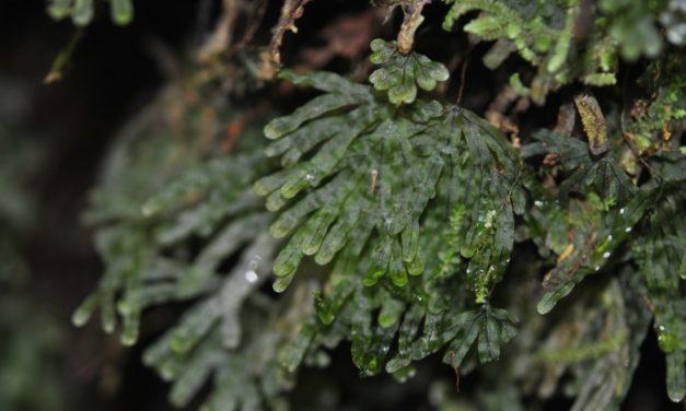 Hymenophyllum digitatum