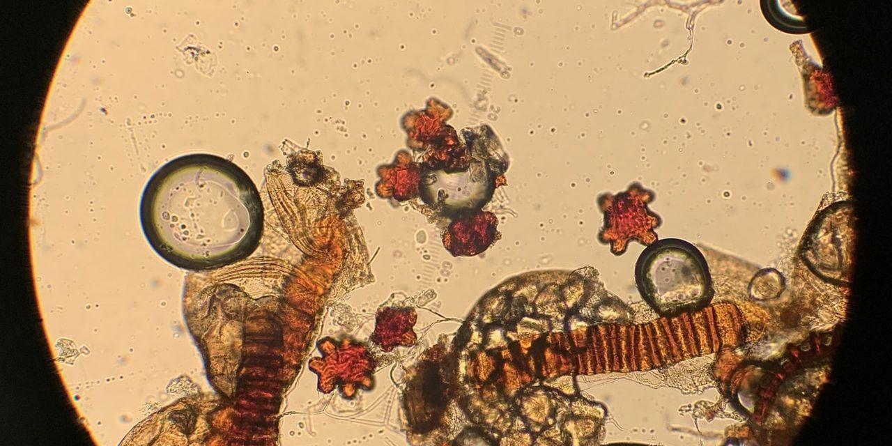 Antrophyum semicostatum var. marthae